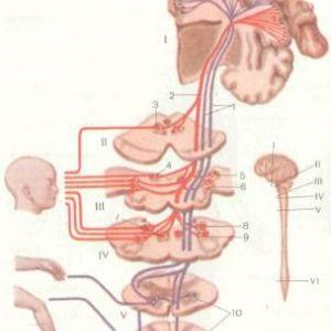 Центральний і периферичний рухові нейрони
