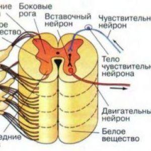 Що являє собою спинний мозок?