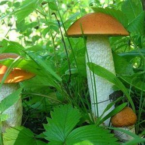 Як правильно вибрати гриби