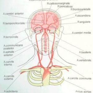Кровопостачання головного та спинного мозку
