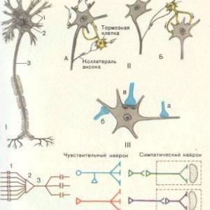 Морфологія нервової системи (спинний мозок)