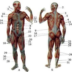 М`язи стегна
