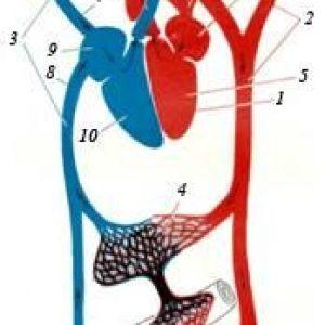 Органи кровообігу
