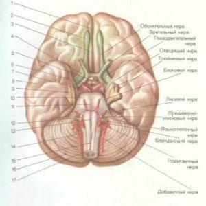 Підстава великого мозку і черепні нерви