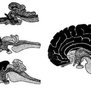 Півкулі головного мозку